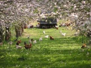 dorset nectar hens